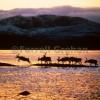 Lapland deer crossing